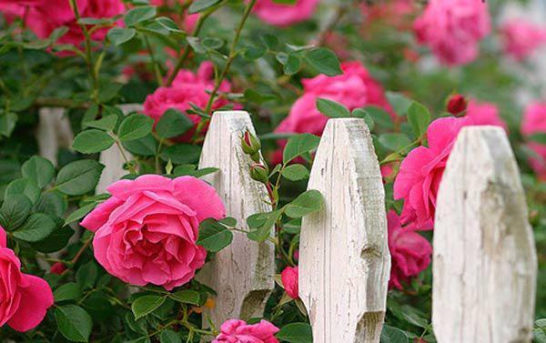6 loai hoa trong ban cong mang den tai van tot cho gia chu 1