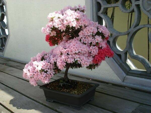 6 loai hoa trong ban cong mang den tai van tot cho gia chu 2