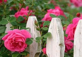 6 loai hoa trong ban cong mang den tai van tot cho gia chu